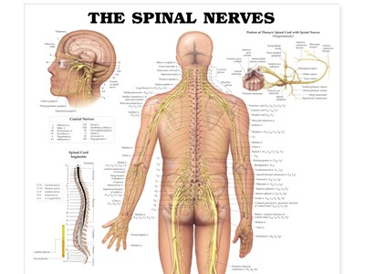 Spinal Nerves Wall Chart