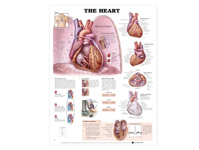 Heart Anatomy Wall Chart
