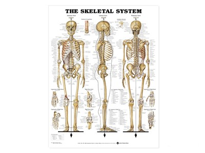 Skeletal System Wall Chart