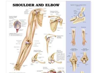 Shoulder and Elbow Wall Chart