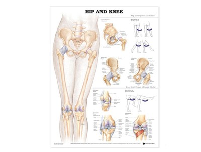 Hip and Knee Wall Chart