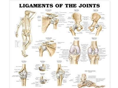 Ligaments of the Joints Wall Chart
