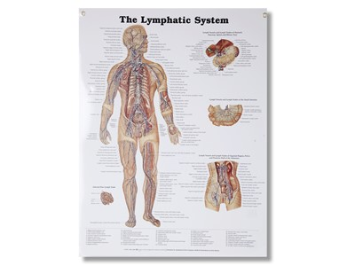 Lymphatic System Wall Chart
